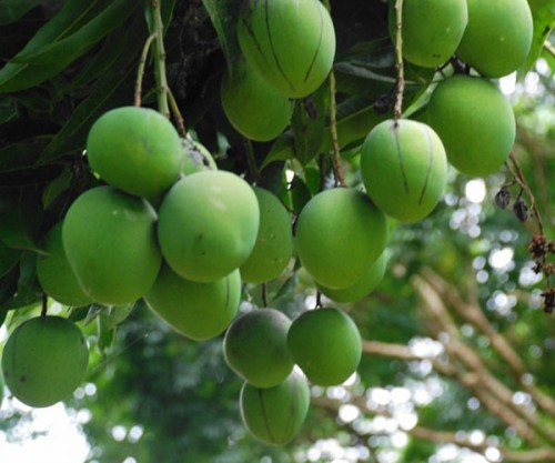 Grafted Mangoes