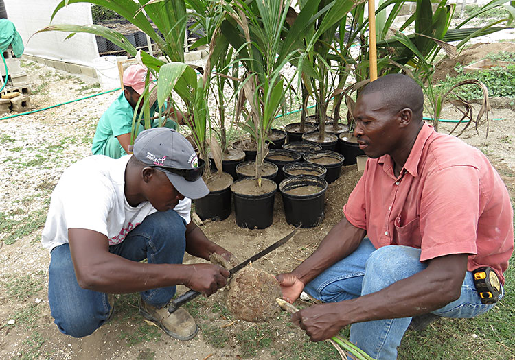 Haitians learning to trim root system before planting.