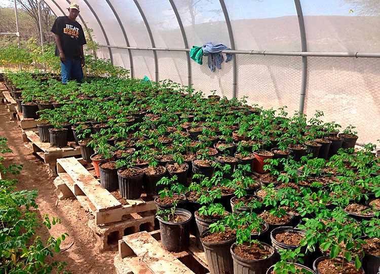 Wilner checks on the Moringa nursery.