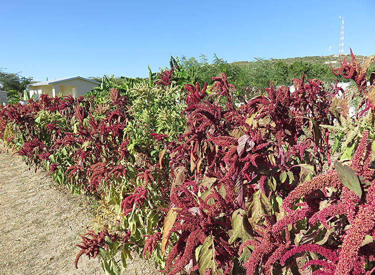 Haitians growing Amaranth in outside gardens to cultivate for the seeds.
