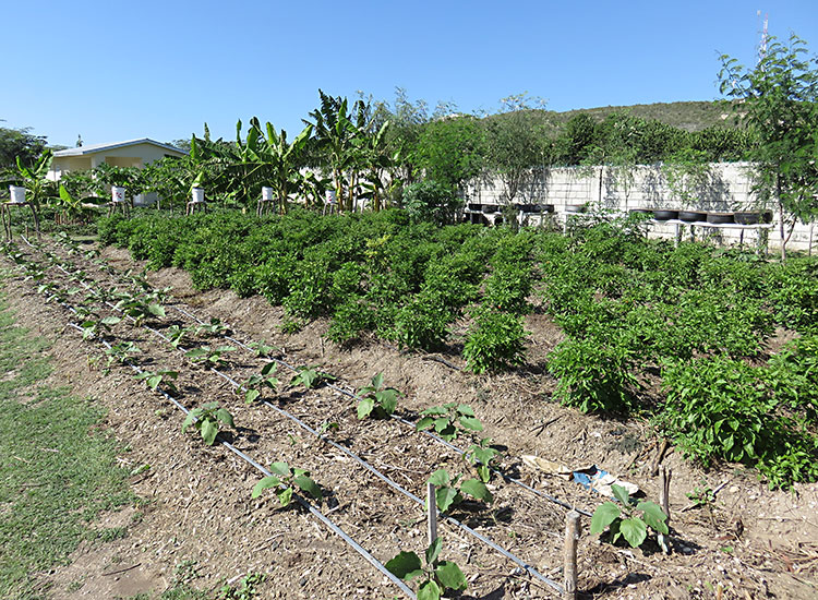 Vegetable gardens in Haiti