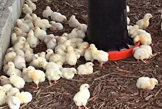 baby chicks at Love A Child's chicken farm in Haiti