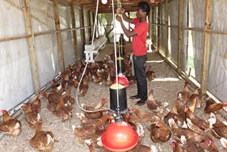 new-laying-hens