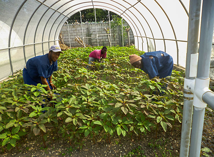 Haitians growing amaranth spinach in the greenhouse.
